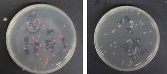 バイオフィルムから単離された2種の微生物
